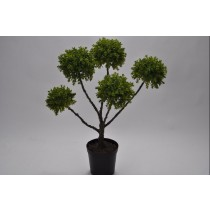 GREEN BUXUS PLANT POTTED